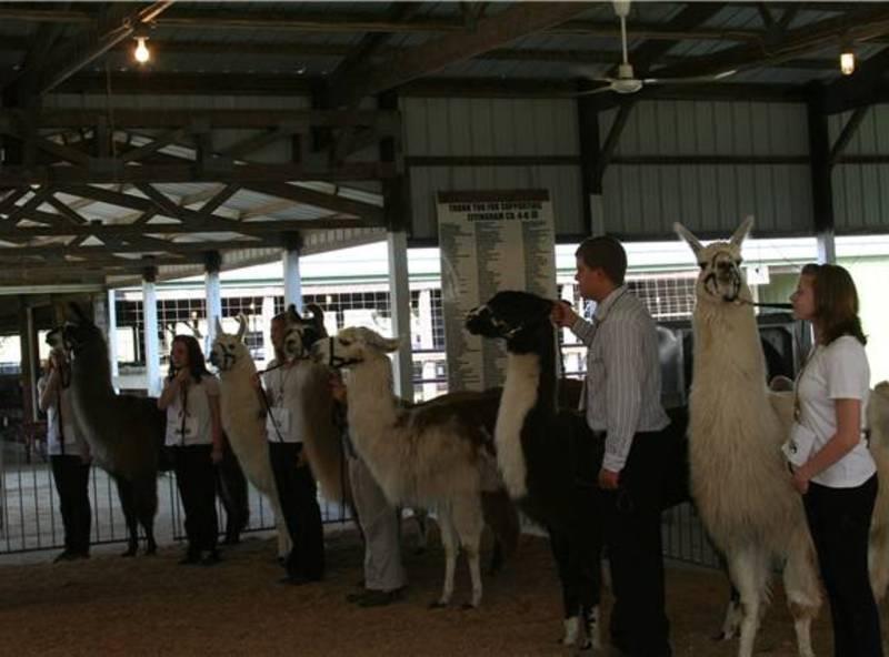 14032825548-9-13_llama_sr._showmanship